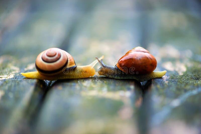 Twee slakken die zich in tegenovergestelde richtingen, een oude houten oppervlakte bewegen stock foto