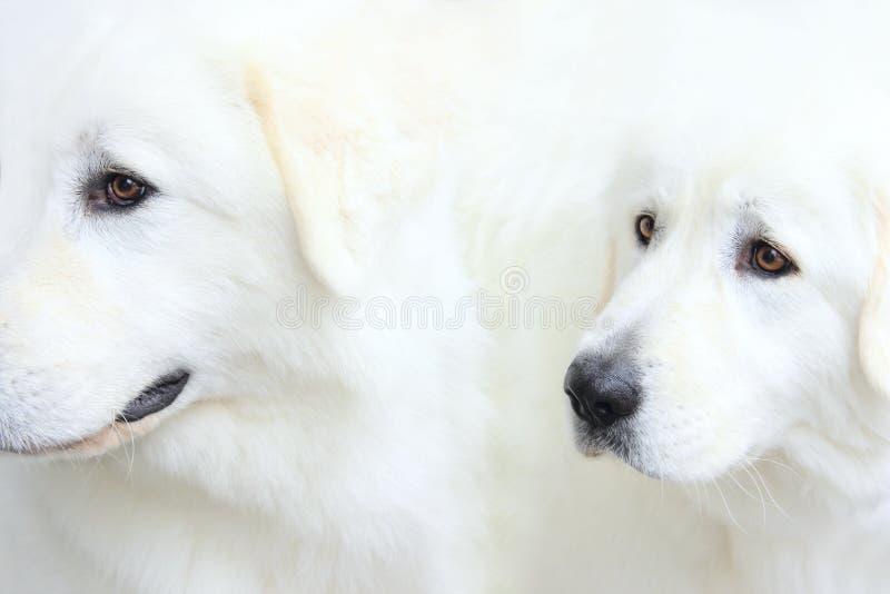 Twee snuiten van Witte honden royalty-vrije stock fotografie