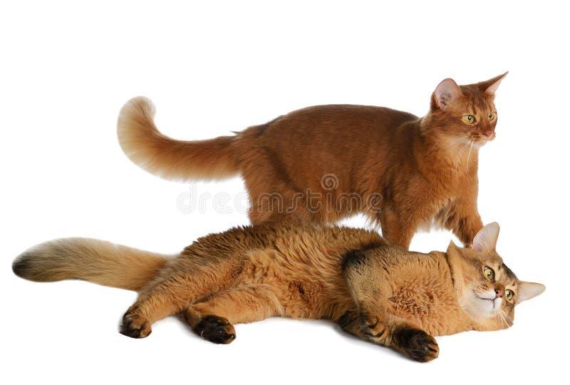 Twee Somalische die katten op witte achtergrond worden geïsoleerd royalty-vrije stock foto's