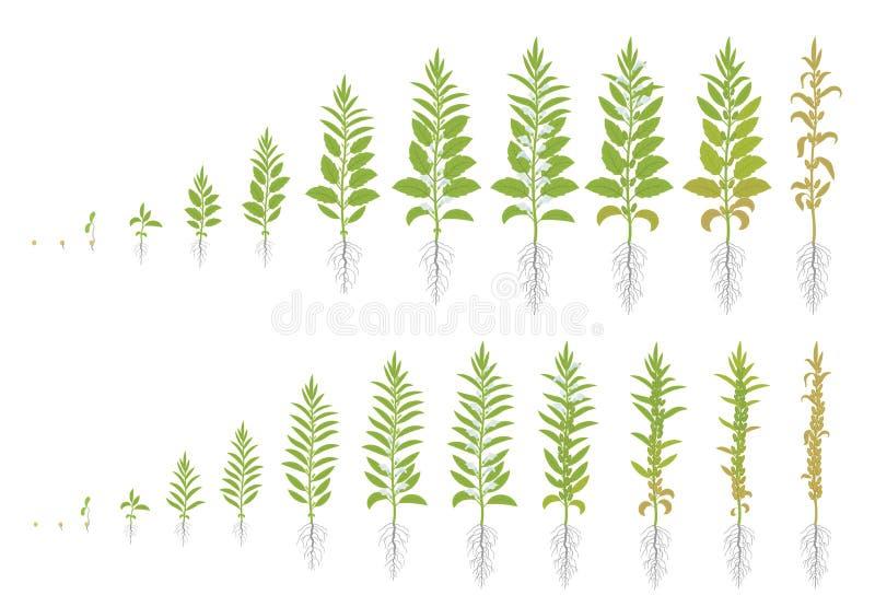 Twee soorten sesam De reeks van gewassenstadia van Sesam Groeiende Sesaminstallatie Ook geroepen benne Sesamum Indicum Vlakke vec stock illustratie