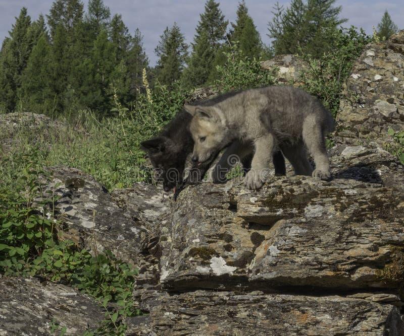 Twee Speels Wolf Pups op een Richel royalty-vrije stock foto's