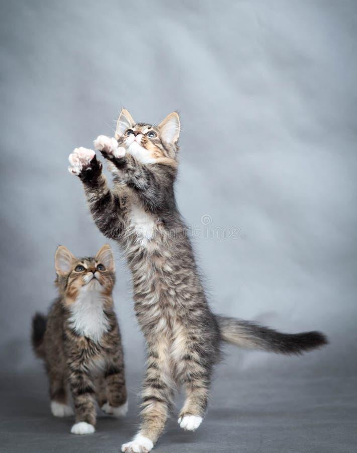Twee speelse katjes royalty-vrije stock fotografie