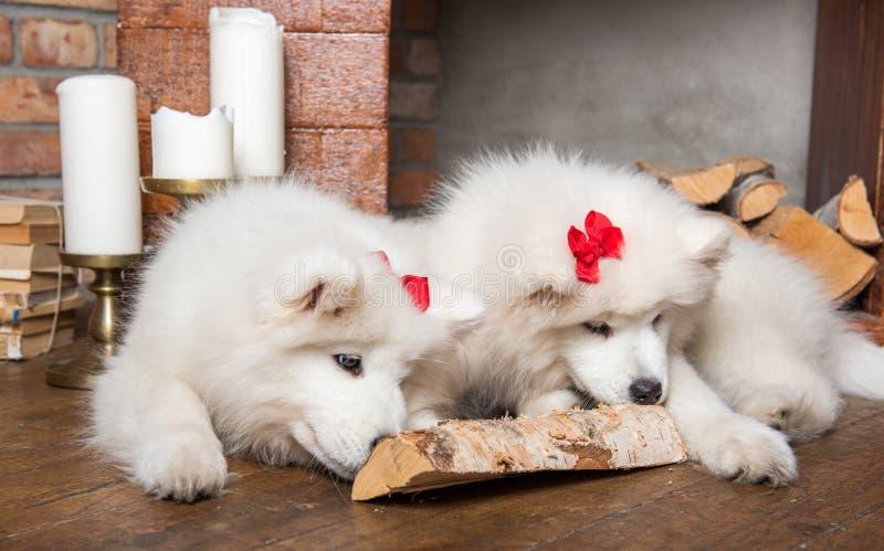 Twee speelse Samoyed-hondenpuppy met brandhout op houten vloer en open haard royalty-vrije stock afbeeldingen
