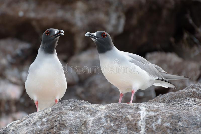Twee Swallow Tailed Gull op North Seymour, Galapagos Islands, Ecuador, Zuid-Amerika royalty-vrije stock fotografie