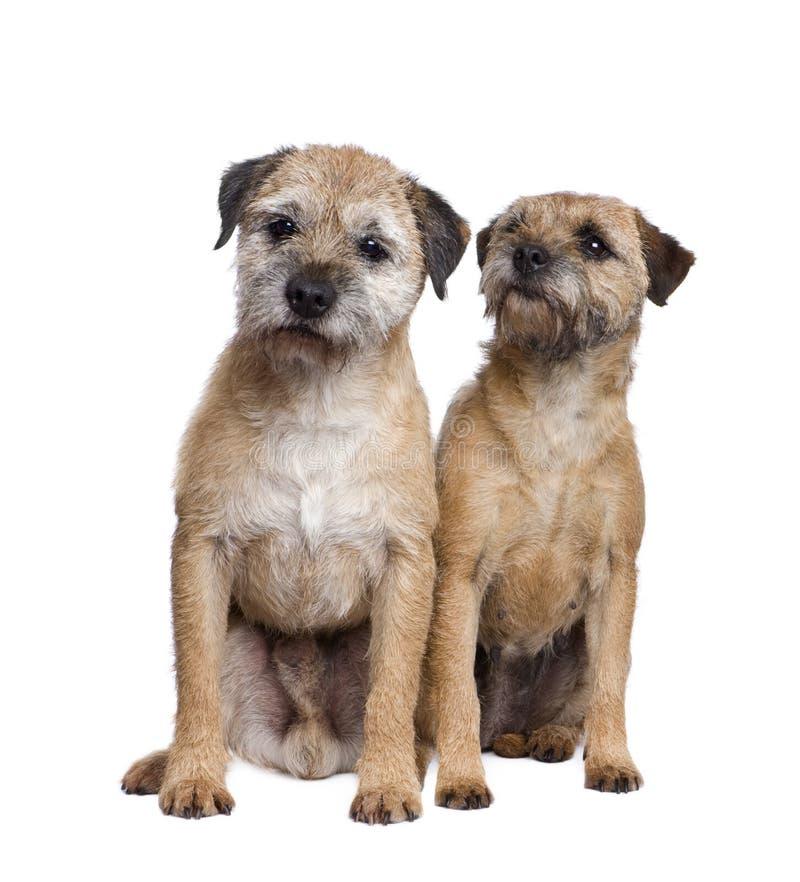 Twee terriers van de Grens royalty-vrije stock foto's