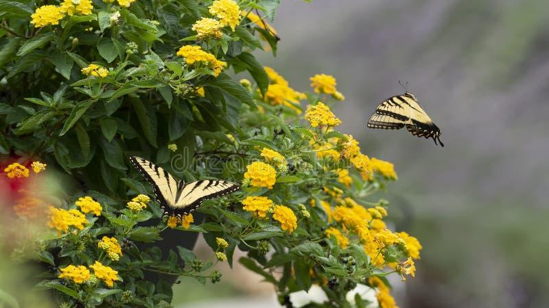 Twee Tiger Swallowtail Butterflys op Lantana stock afbeelding
