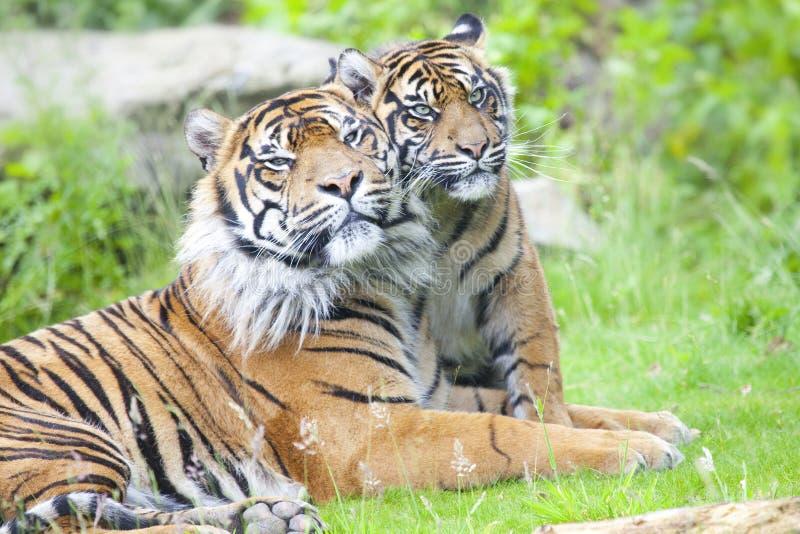 Twee tijgers samen royalty-vrije stock afbeeldingen