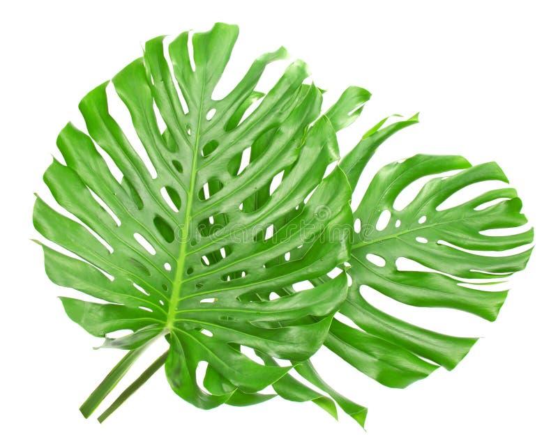 Twee tropische bladeren royalty-vrije stock foto