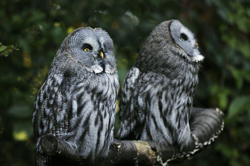 Twee uilen royalty-vrije stock foto's
