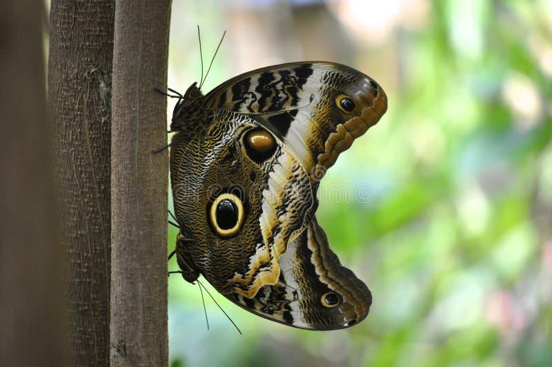 Twee uilvlinders royalty-vrije stock foto