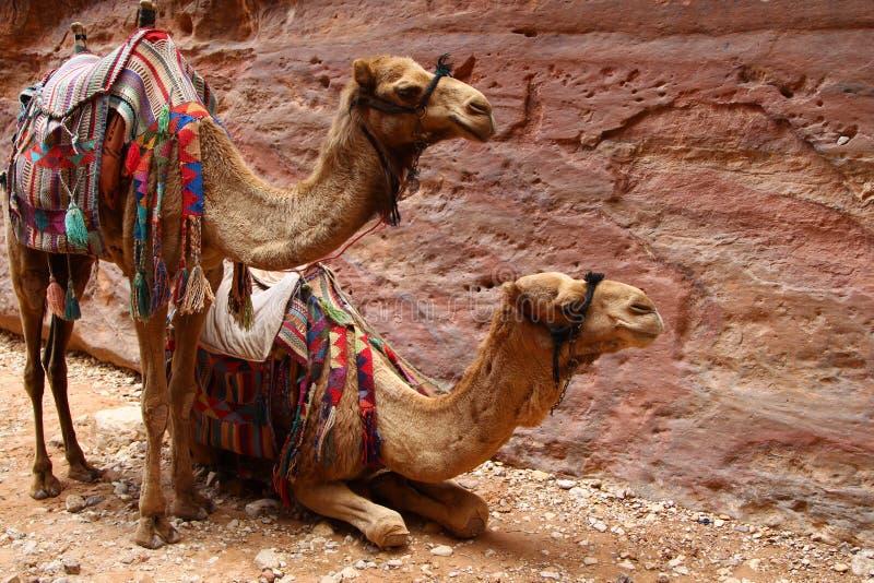 Twee uitgeruste kamelen in Petra tegen de achtergrond van de rots stock afbeeldingen
