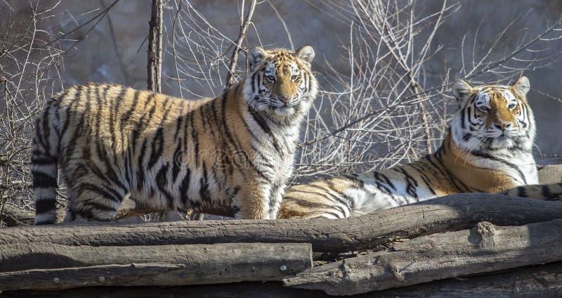Twee ussurian tijgers, oud en jong stock afbeeldingen