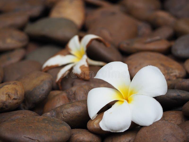 twee van Plumeria-bloemen stock foto