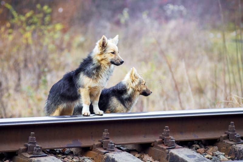 Twee verdwaalde honden staan de spoorweg te kruisen op het punt Het leven van dieren in de industriezone stock afbeelding