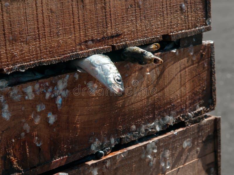 Twee vers sardines stock foto's