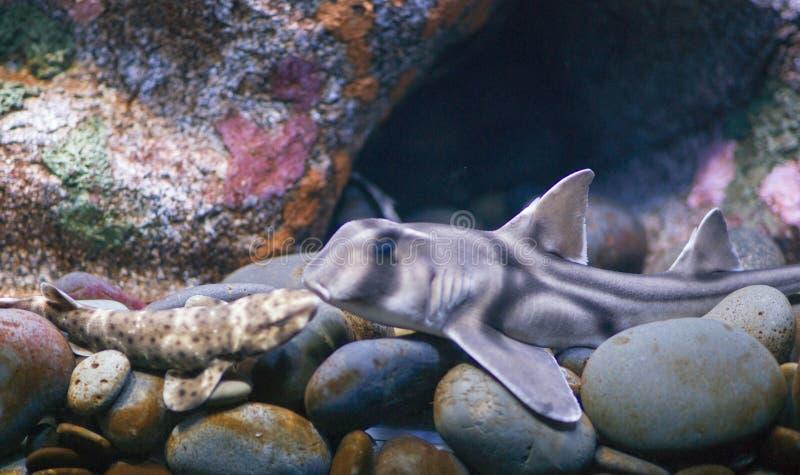 Twee vissen die in aquarium kussen stock afbeelding