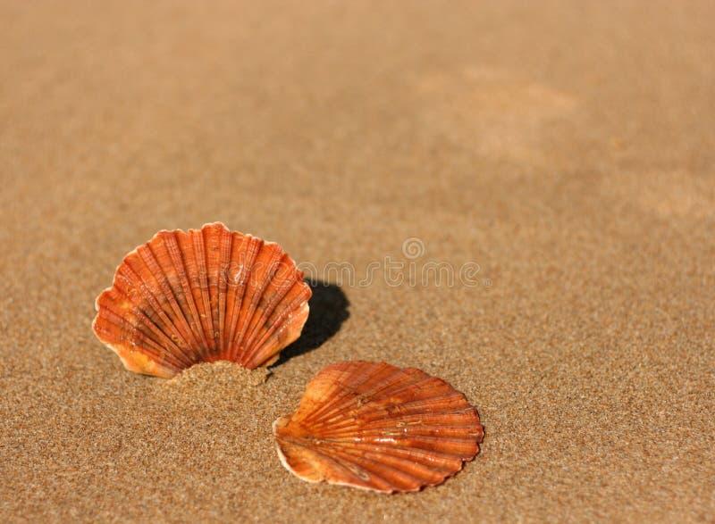 Twee vlakke overzeese shells op het zand stock afbeelding