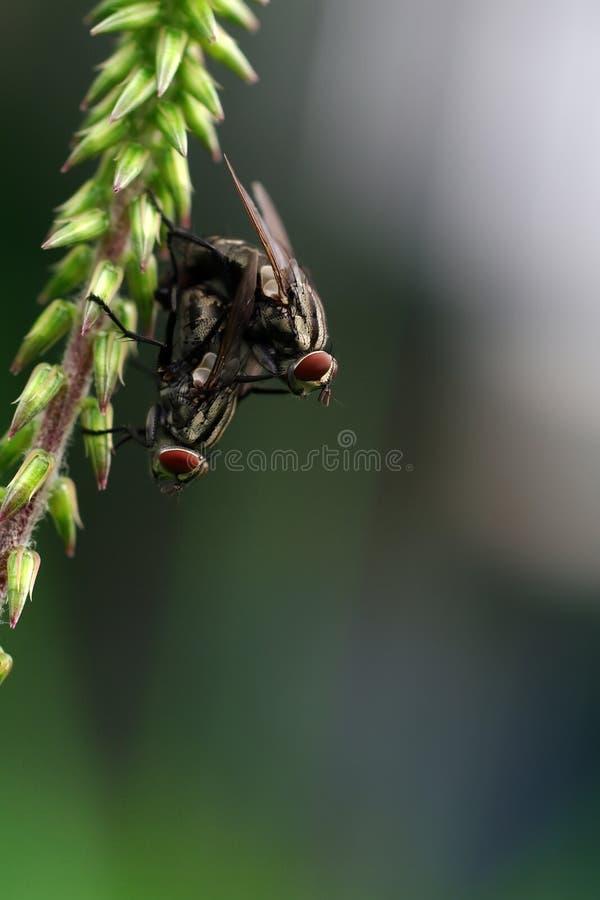Twee vliegen stock foto