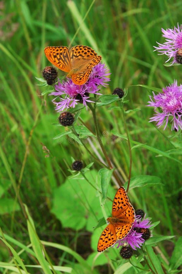 Twee vlinders stock afbeeldingen