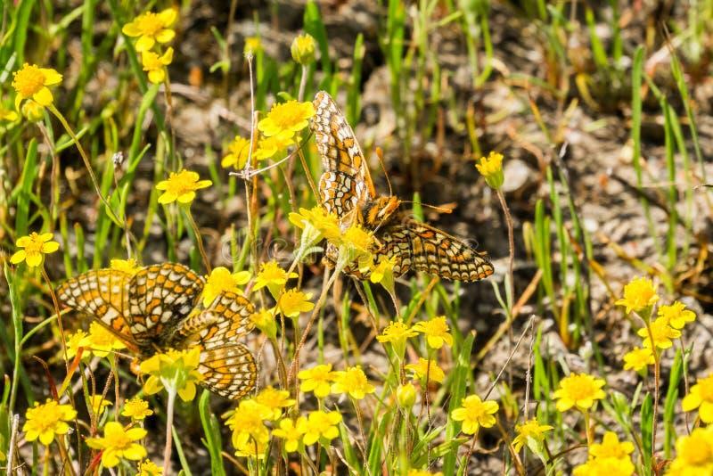 Twee vlinders van Baaicheckerspot (bayensis van Euphydryas Editha) op goudveldwildflowers; geclassificeerd als federaal gedreigd stock foto