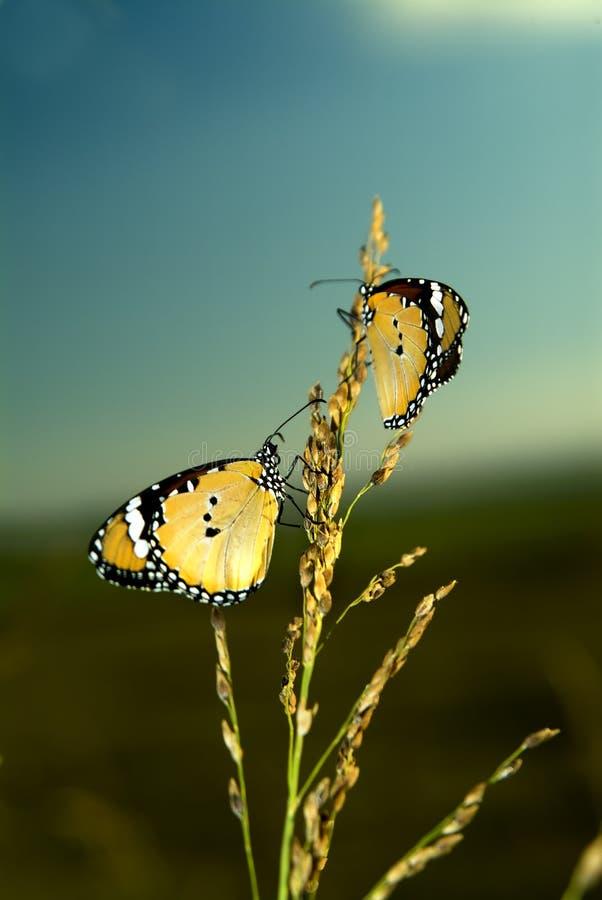 Twee Vlinders van de Monarch stock afbeelding