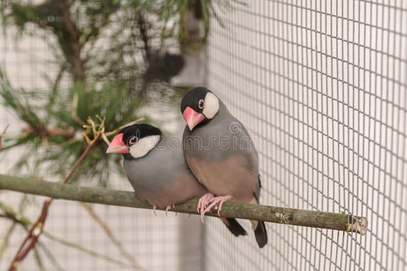 Twee vogels Amadin in de kooi op tak royalty-vrije stock afbeeldingen