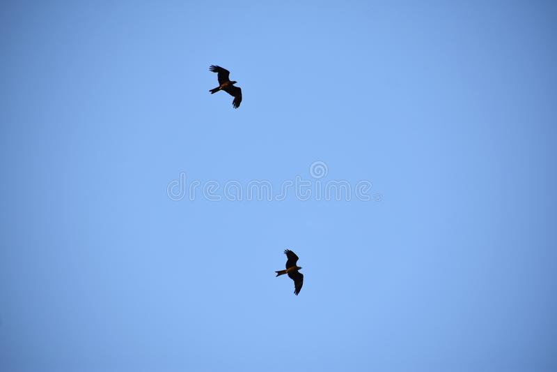 Twee vogels die in de blauwe hemel zij aan zij vliegen stock afbeelding
