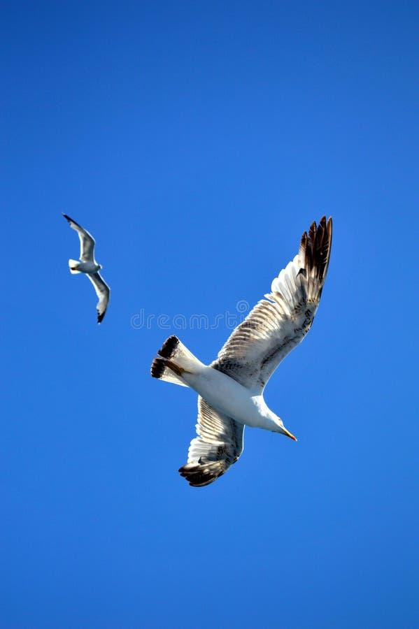 Twee vogelszeemeeuwen die in de blauwe hemel vliegen stock foto