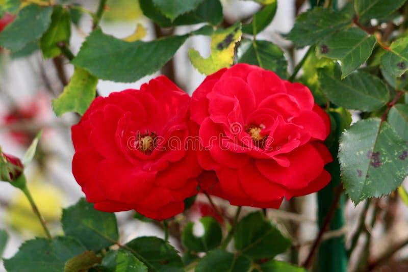 Twee volledig bloeiende rode rozen met dichte bloemblaadjes en geel die centrum met donkergroene bladeren worden omringd stock afbeeldingen