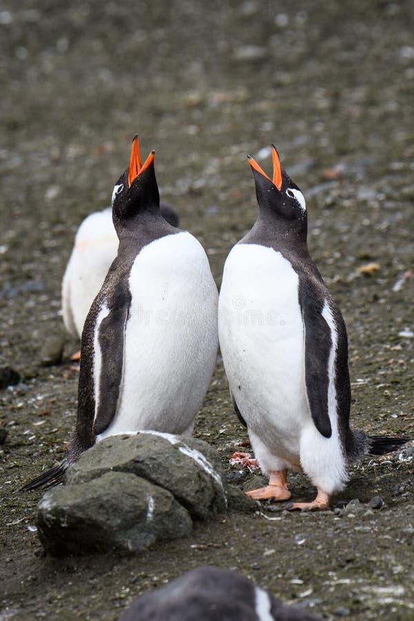 Twee volwassen Gentoo-pinguïnen lange status en binnen het roepen van een ritueel plakkend, Aitcho-Eilanden, Zuid-Shetland-eilan royalty-vrije stock fotografie