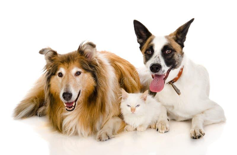 Twee volwassen honden en uiterst klein katje. royalty-vrije stock fotografie