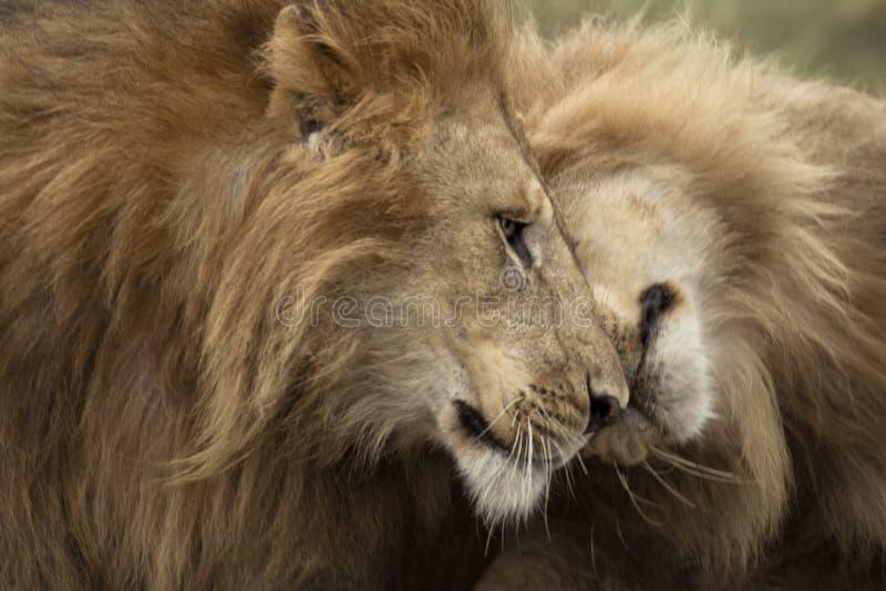 Twee volwassen leeuwen, Nationaal Park Serengeti royalty-vrije stock foto's