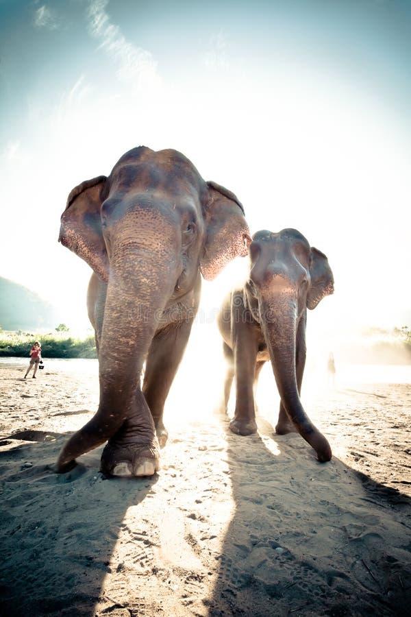 Twee volwassen olifanten stock foto