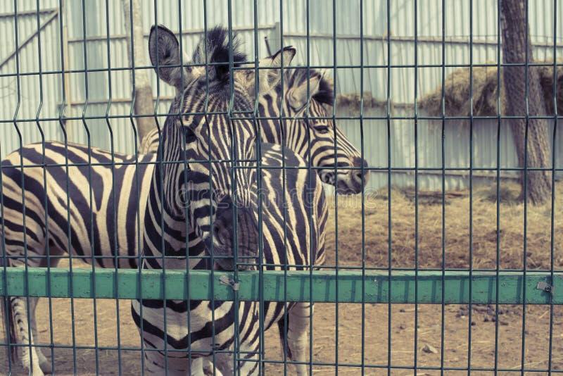Twee volwassen zebras leven in de dierentuin stock afbeeldingen