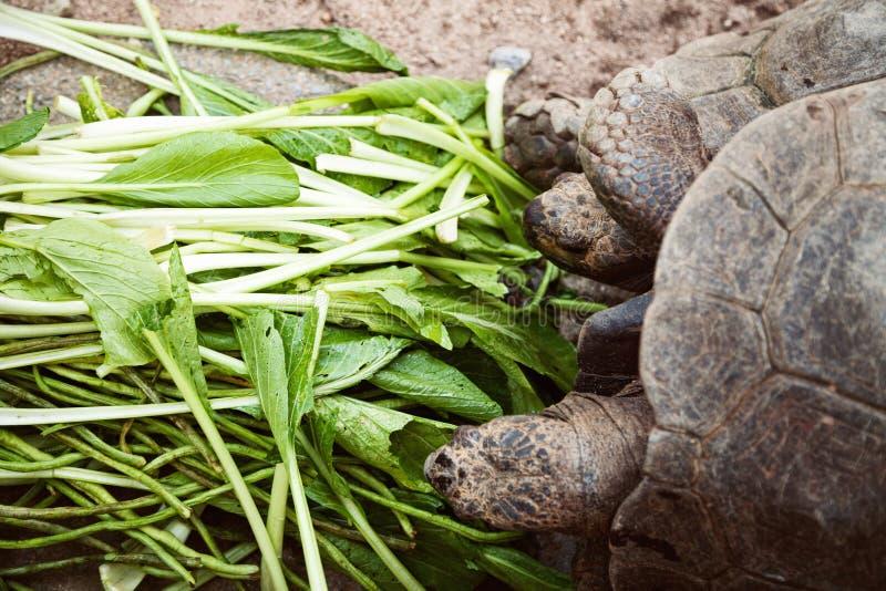 Twee vriendenschildpad die, close-up eten stock afbeeldingen