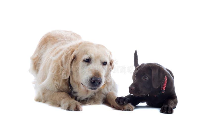 Twee vriendschappelijke honden royalty-vrije stock afbeelding