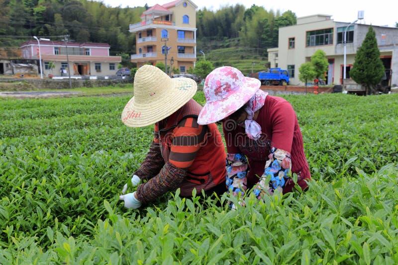Twee vrouwen plukken thee royalty-vrije stock fotografie