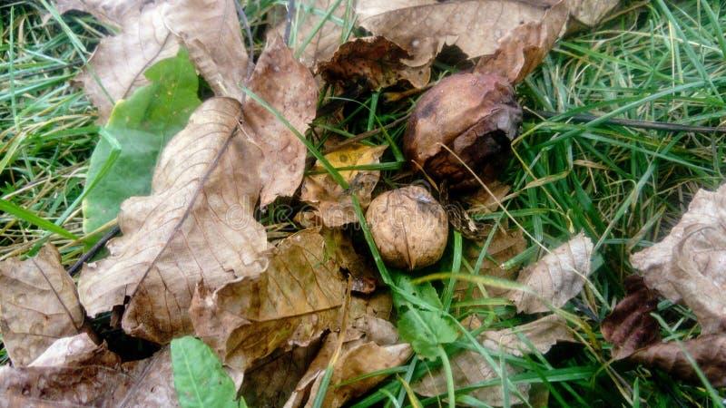 Twee vruchten van okkernoten op het gras onder de boom stock foto's