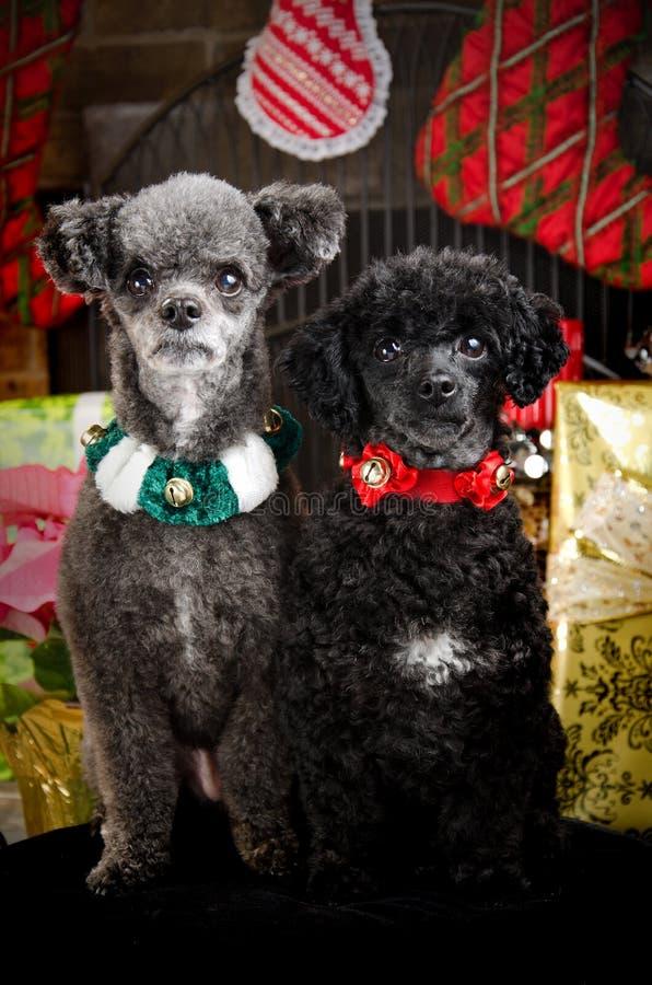 Twee waakzame Honden van Kerstmis stock fotografie