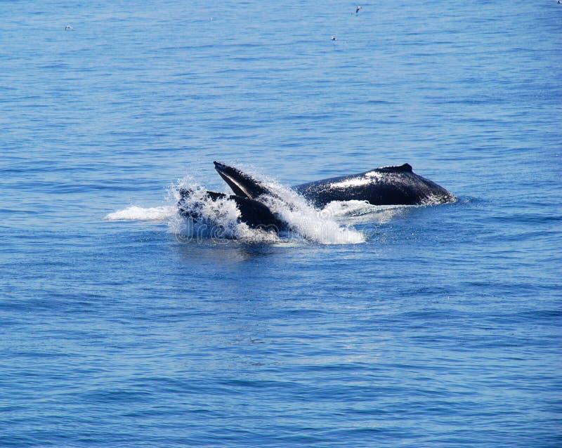 Twee walvissen in de oceaan stock foto's