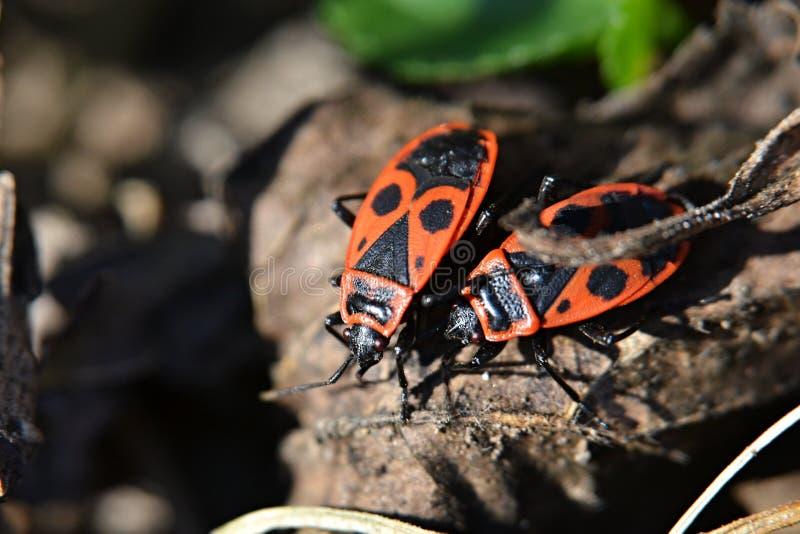 Twee ware insecten stock fotografie