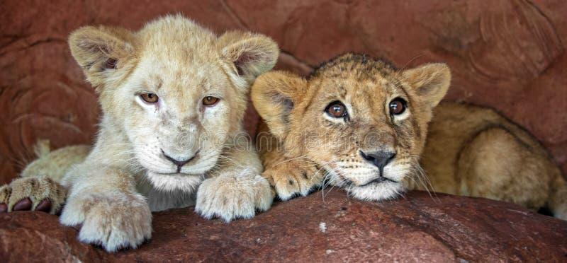 Twee welpen van babyleeuwen in gevangenschap royalty-vrije stock afbeelding