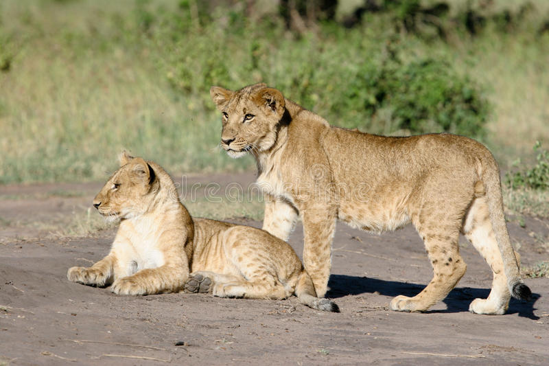 Twee Welpen van de Leeuw royalty-vrije stock fotografie