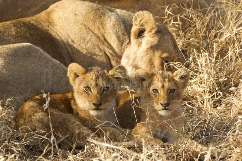 Twee welpen van de Leeuw, Zuid-Afrika stock afbeeldingen