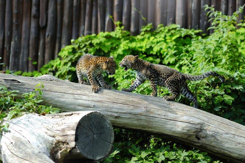 Twee welpen van Jaguar bij spel stock afbeeldingen