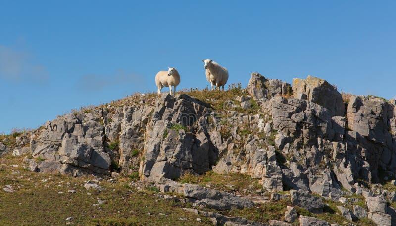 Twee Welse schapen op de horizon op rotsachtige helling Gower South Wales het UK stock fotografie