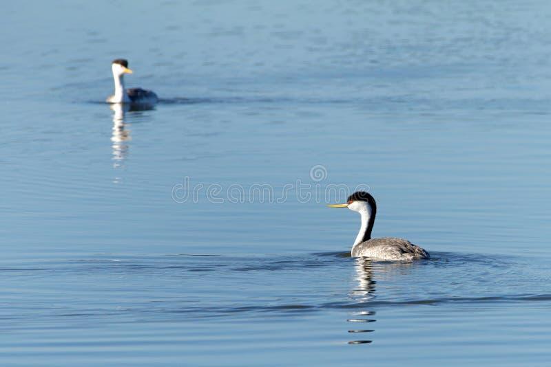 Twee westelijke futen die op een meer zwemmen royalty-vrije stock afbeeldingen