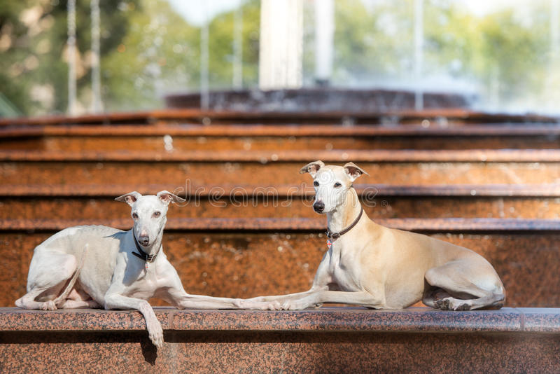 Twee whippethonden die door de fontein liggen stock fotografie