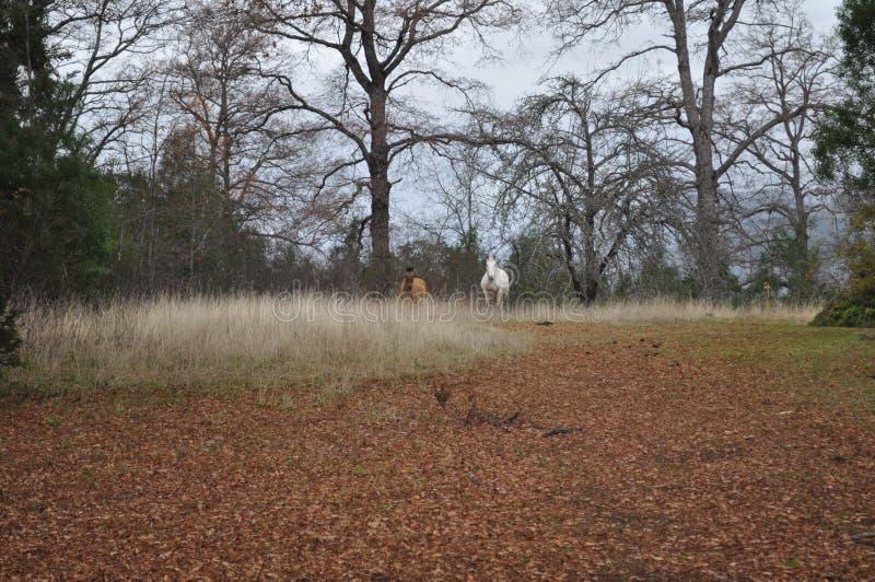 Twee wild paarden royalty-vrije stock foto's