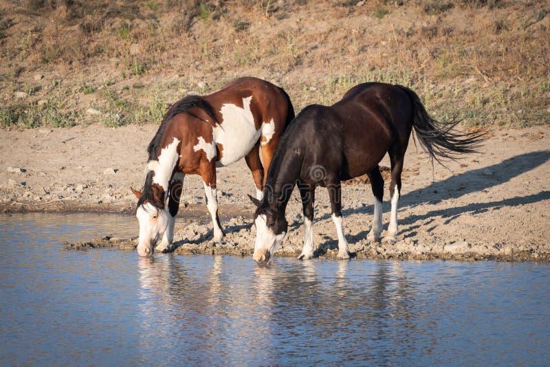 Twee wild paarden drinkwater bij een vijver stock afbeelding